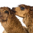 Alpaca biting another Alpaca's ear against white background - Zdjęcie stockowe