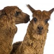 Alpaca whispering at another Alpaca's ear against white background — Stock Photo
