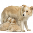 Border Collie puppies, 6 weeks old, suckling mother Border Collie, 2.5 years old, in front of white background — Stock Photo