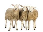 три овцы на белом фоне — Стоковое фото