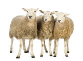 Trzy owce na białym tle — Zdjęcie stockowe