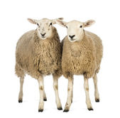 Two Sheep against white background — Stock Photo
