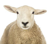 Close-up of a Sheep's head against white background — Stock Photo