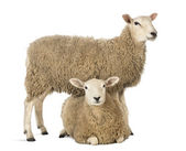 Sheep standing over another lying against white background — Stock Photo