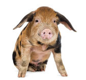 Oxford Sandy and Black piglet, 9 weeks old, sitting against white background — Stock Photo