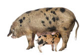Oxford Sandy and Black piglet, 9 weeks old, suckling sow against white background — Stock Photo