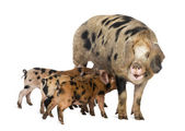 Oxford Sandy and Black piglets, 9 weeks old, suckling sow against white background — Stock Photo