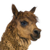 Close-up of Alpaca looking away against white background — Stock Photo