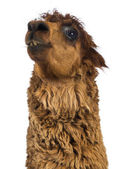 Close-up of Alpaca looking up against white background — Stock Photo