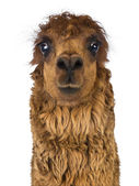 Front view Close-up of Alpaca against white background — Stock Photo