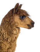 Side view Close-up of Alpaca against white background — Stock Photo