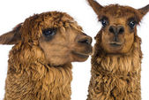 Close-up of Two Alpacas against white background — Stock Photo