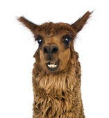 Close-up of Alpaca smiling against white background — Stock Photo