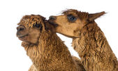 Alpaca biting another Alpaca's ear against white background — Stock Photo