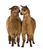 Two Alpacas against white background — Stock Photo