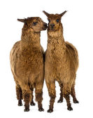 Two Alpacas, one is smiling and the other is looking at him against white background — Stock Photo
