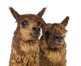 Close-up of Two Alpacas looking away and smiling against white background — Stock Photo