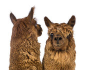 Close-up of Two Alpacas, one is looking back and the other is looking at camera against white background — Stock Photo