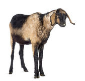 Close-up of an Anglo-Nubian goat with a distorted jaw, looking away against white background — Stock Photo
