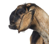 Close-up of an Anglo-Nubian goat with a distorted jaw, against white background — Stock Photo