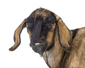 Close-up of an Anglo-Nubian goat with a distorted jaw against white background — Stock Photo