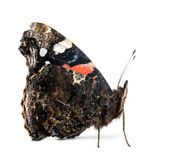 Side view of a Red Admiral butterfly, Vanessa atalanta, against white background — Stock Photo