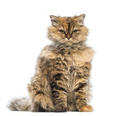Selkirk Rex, 5 months old, sitting and looking at camera with evil look against white background — Stock Photo