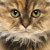 Close-up of a Selkirk Rex, 5 months old, looking at camera — Stock Photo
