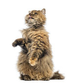 Selkirk Rex, 5 months old, standing on hind legs and reaching, licking against white background — Stock Photo