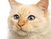 Close-up of a Birman looking away against white background — Stock Photo
