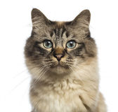 Close-up of a Birman looking at camera against white background — Stock Photo