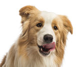 Close-up of a Border Collie, 1.5 years old, licking in front of white background — Stock Photo
