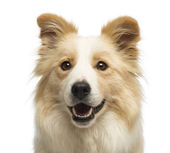 Close-up of a Border Collie, 2.5 years old, in front of white background — Stock Photo