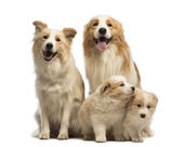 Border collie family, father, mother and puppies, sitting in front of white background — Stock Photo