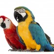 Stock Photo: Blue-and-yellow Macaw, Arararauna, 30 years old, and Green-winged Macaw, Archloropterus, 1 year old, in front of white background