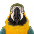 Front view close-up of a Blue-and-yellow Macaw, Ara ararauna, 30 years old, in front of white background — Stock Photo #21612927