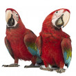 Two Green-winged Macaw, Ara chloropterus, 1 year old, in front of white background — Stock Photo