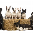 Stock Photo: French Bulldogs sitting on straw bale and crossbreeds sitting and lying next to bale in front of white background