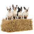 Stock Photo: French Bulldogs sitting on straw bale in front of white background