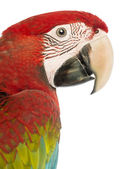 Side view close-up of a Green-winged Macaw, Ara chloropterus, 1 year old, in front of white background — Stock Photo