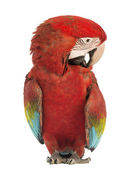 Green-winged Macaw, Ara chloropterus, 1 year old, scratching itself in front of white background — Stock Photo