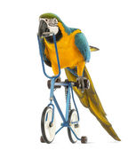 Blue-and-yellow Macaw, Ara ararauna, 30 years old, riding a blue bicycle in front of white background — Stock Photo