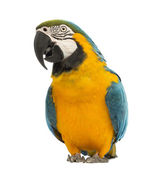 Guacamayo azul y amarillo, ara ararauna, 30 años de edad, frente a fondo blanco — Foto de Stock