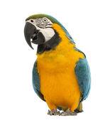 青と黄色コンゴウインコ、ara ararauna、30 歳で、白い背景の前に — ストック写真