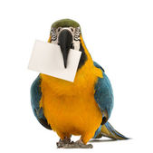 Blue-and-yellow Macaw, Ara ararauna, 30 years old, holding a white card in its beak in front of white background — Stock Photo