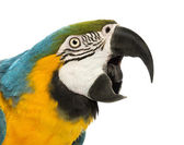 Close-up of a Blue-and-yellow Macaw, Ara ararauna, 30 years old, with its beak open in front of white background — Stock Photo