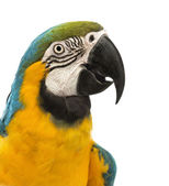 Side view close-up of a Blue-and-yellow Macaw, Ara ararauna, 30 years old, in front of white background — Stock Photo