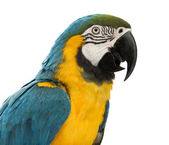 Close-up of a Blue-and-yellow Macaw, Ara ararauna, 30 years old, in front of white background — Stock Photo