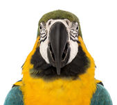 Front view close-up of a Blue-and-yellow Macaw, Ara ararauna, 30 years old, in front of white background — Stock Photo