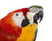 Close-up of a Blue-and-yellow Macaw, Ara ararauna, 30 years old, and Green-winged Macaw, Ara chloropterus, 1 year old, in front of white background — Stock Photo